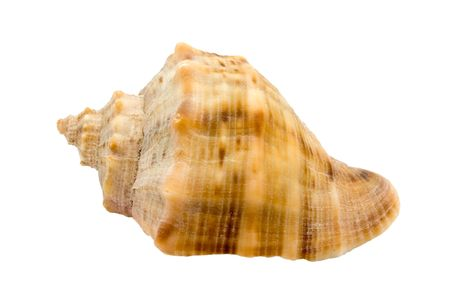 murex shell: Murex snail shell isolated on white background
