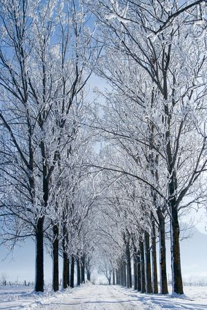 delimit: Parallel rows of trees and a road covered with snow Stock Photo