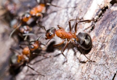 Extreme close-up of a colony of red ants photo