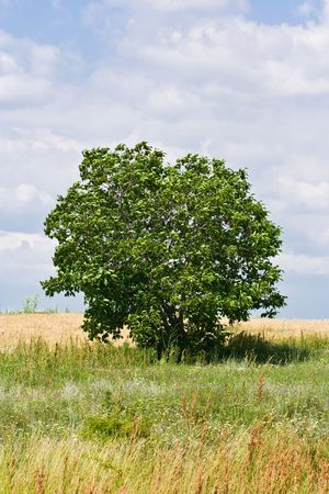 Single tree in a meadow under blue sky with clouds Stock Photo - 3197311