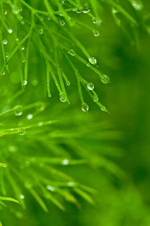 Close-up of dill with water droplets hanging on straws Stock Photo - 3197295
