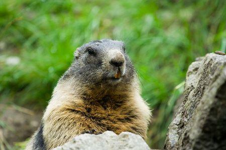 Closeup portrait of a cute marmot Stock Photo - 3343499