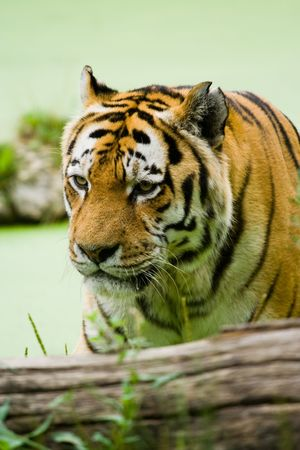 Tiger on the water in a summer day photo