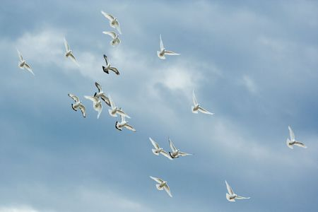 dove in flight: A group of doves flying on the the cl