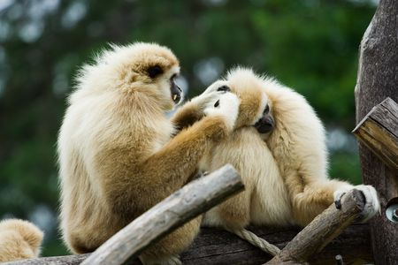 Two monkeys cleaning each other photo