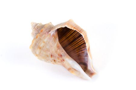 channeled: Channeled whelk spiral shell isolated on white background