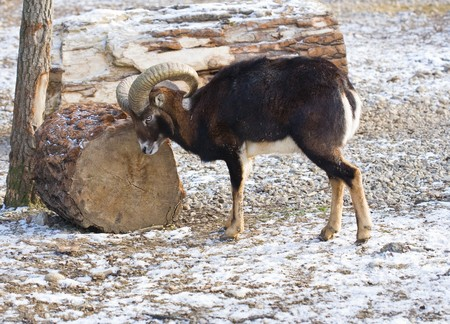 Young mouflon outdoors in a winter day photo