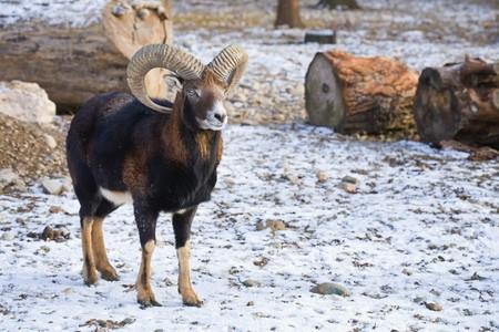 mouflon: Young mouflon outdoors in a winter day