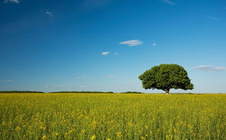 Single tree in a canola field under blue sky