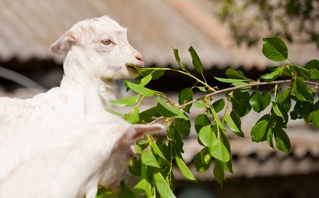 fidgety: Cute baby goat eating leaves from a branch Stock Photo