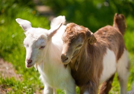 fidgety: Two cute baby goats playing to