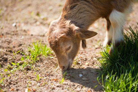 fidgety: Cute baby goat playing alone on a lawn Stock Photo