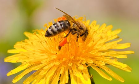 Macro with a bee  photo