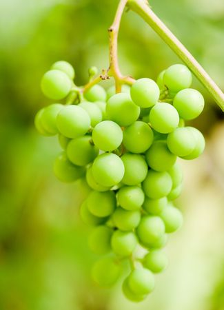 Close up of a green grapes bunch Stock Photo