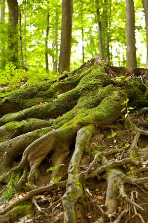Tree root covered with moss in a forest Stock Photo - 5547889