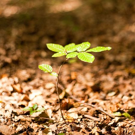 Baby tree growing through the fallen leaves photo
