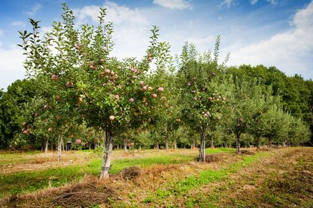 Orchard with apple trees with red apples photo