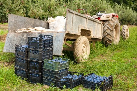 Boxes with plums near a tractor in a grass field, harvesting concept photo