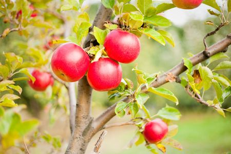 Delicious red apples on a tree in a garden, shallow depth of field photo