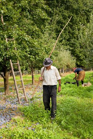 Senior farmer picking plums in an orchard photo
