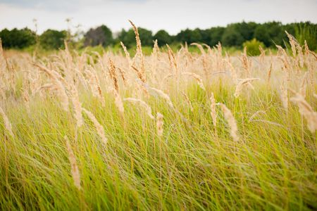 Ripe yellow grass field in the countryside Stock Photo - 5623315