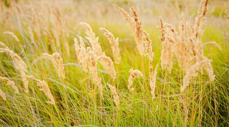 Ripe yellow grass field in the countryside Stock Photo - 5623316