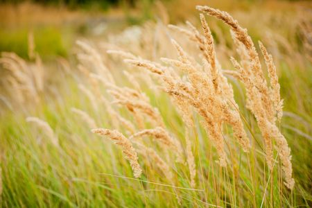Ripe yellow grass field in the countryside Stock Photo - 5623250