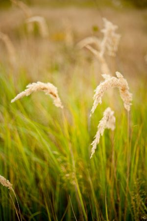 Ripe yellow grass field in the countryside Stock Photo - 5623255