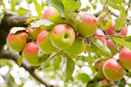 Ripe apples on branches in a garden