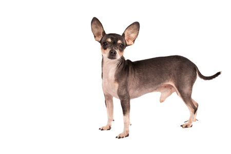 Close up portrait of a Chihuahua dog, over white Stock Photo - 6171579
