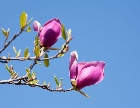 Close up of beautiful magnolia flowers against blue sky photo