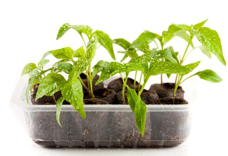ball lump: Little pepper plants with water drops on them in peat (coal) balls, isolated on white