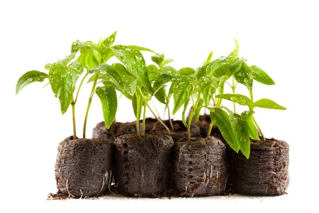 clod: Little pepper plants with water drops on them in peat (coal) balls, isolated on white