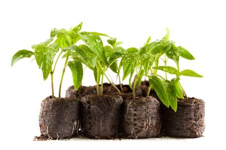 turba: Poco plantas de pimienta, con gotas de agua sobre ellos en bolas de turba (carb�n), aislados en blanco