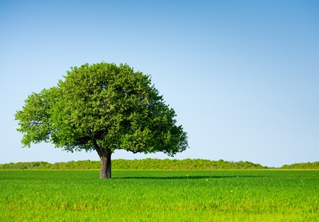 Landscape with a lonely tree in a wheat field under clear blue sky Stock Photo - 6910911