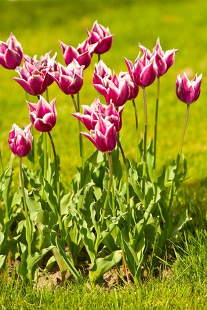 Bunch of purple white tulips in a meadow photo