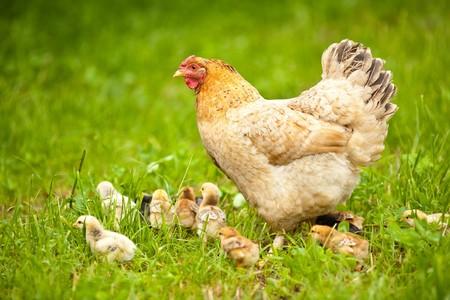 pollitos: Detalle de un pollo de madre con su beb� de pollitos en pasto