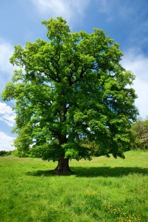 Single big oak tree in a meadow near the forest Stock Photo - 7056809