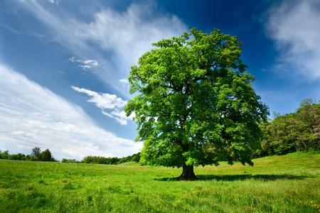 paisaje rural: Único árbol de roble grande en un prado cerca del bosque Foto de archivo