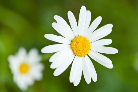 falso: Close up de una Margarita de blanco en la hierba  Foto de archivo
