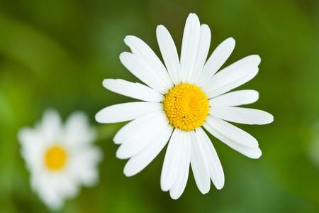 Close-up van een witte margriet in grass