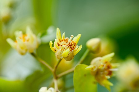 tilia: Closeup of a yellow tilia flowers with leaves in background