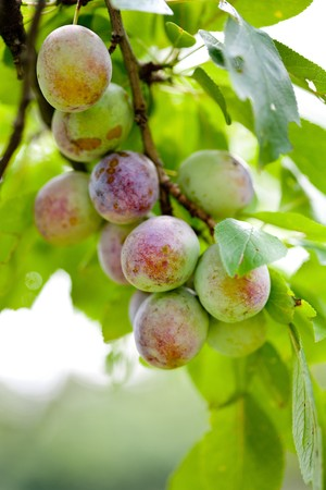 Closeup of a bunch of plums on a tree branch photo