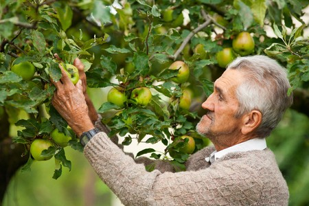 Portrait of a senior farmer checking the apples in his orchard photo