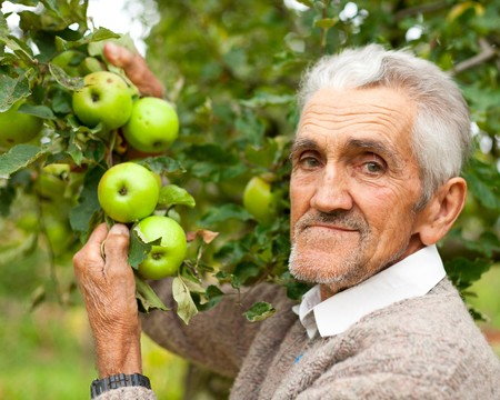 Portrait of a senior farmer checking the apples in his orchard Stock Photo