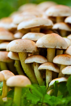 Macro of a bunch of edible mushrooms in the forest Stock Photo - 7999327