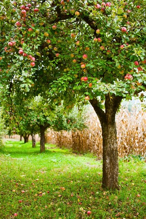 fruit tree: Apple trees in an orchard, with red apples ready for harvest