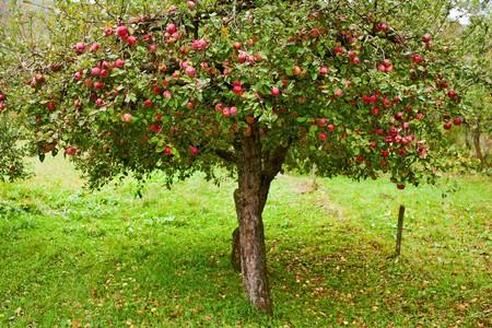 Apple tree: Alberi di Apple in un frutteto, con pronte per il raccolto di mele rosse Archivio Fotografico
