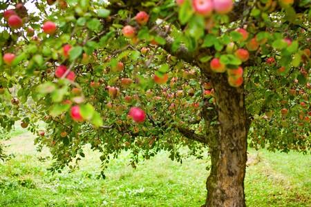 albero di mele: Alberi di Apple in un frutteto, con pronte per il raccolto di mele rosse Archivio Fotografico