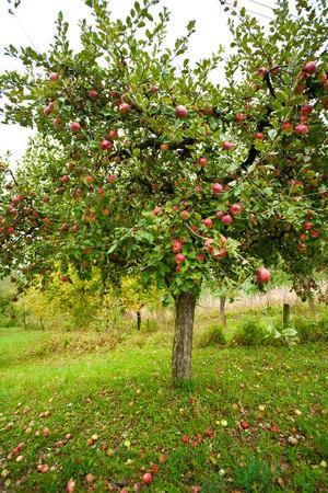 pommier arbre: Apple arbres dans un verger, avec des pommes rouges pr�ts pour la r�colte